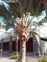 Aruba verschillende mooie palmbomen