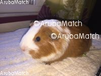 Aruba Guinea Pig With cage and Everything you need